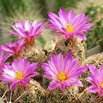 Escobaria minima seeds