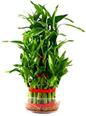 Universal Green Lucky Bamboo Plant/Two Layered Prosperous Bamboo Plant with Transparent Pot/Feng Shui Bamboo Plant for Home & Office/Lucky Bamboo Plant