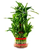 #10: Universal Green Lucky Bamboo Plant/Two Layered Prosperous Bamboo Plant with Transparent Pot/Feng Shui Bamboo Plant for Home & Office/Lucky Bamboo Plant