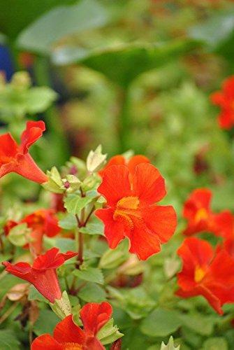 Gauklerblume Reichblühende Sumpfpflanze