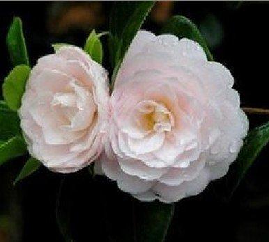 sd1500-0539-camellia-impatiens-secret-flower-series-seeds-16-seeds