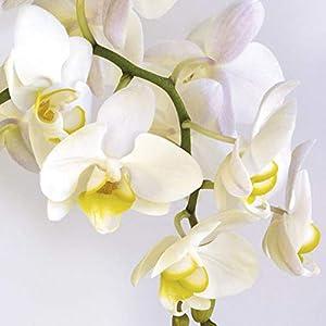 Braun & Company 3219-7104 - Servilletas (20 Unidades), diseño de orquídea, Color Lila y Blanco