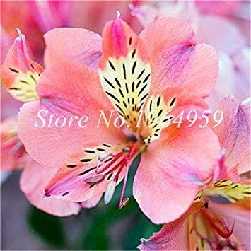Potseed 60 pc Peruviano Lily Alstroemeria Fiore Mix-Color Bella pianta Fiore per la casa e Il Giardino: 6