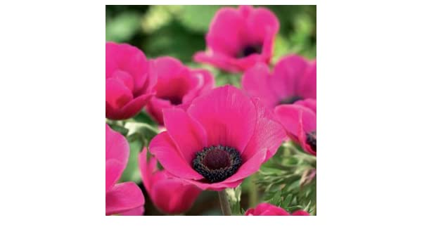Pack 20 Freesia /'Single Mixed/' Bulbs//Tubers Quality W.C.Prins Summer Flowering