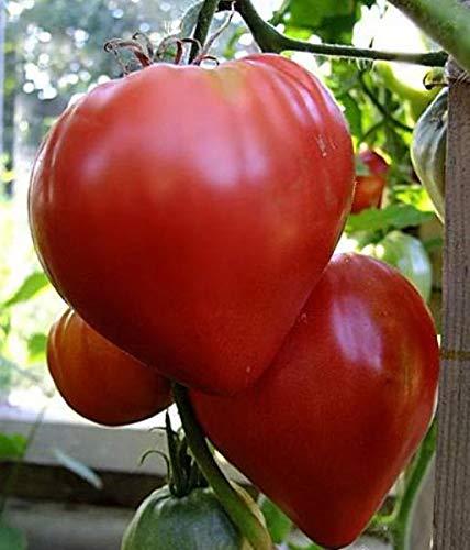 Portal Cool Rare Tomates légumes Heirloom bio Graines Bulls Coeur rouge, Tomate beefsteak