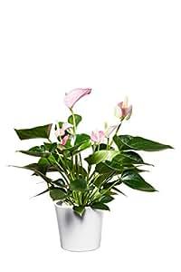 evrgreen anthurie pink rosa flamingoblume zimmerpflanze in hydrokultur im set inkl. Black Bedroom Furniture Sets. Home Design Ideas