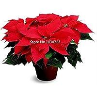 Shoopy Star 75 EED NT de remolacha Amarillo - Naranja/Vegetablerden vegetal