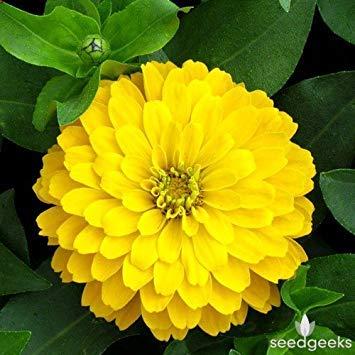 Zoomy Far: SEMI DREAMLAND ZINNIA fiore giallo (AVG 50-100) SEMI X 2 PACCHETTO