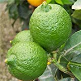 Shop Meeko Croce Comune Nursery Citrus Lime 'Tahiti' Standard