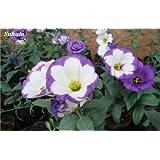 100 semillas PC Eustoma De Platycodon Grandiflorum interior Semillas Balcón de flores perennes vegetales de los pastizales genciana Flores 2
