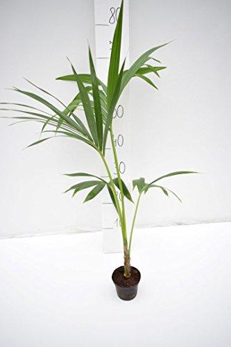 Kentia Palme Howea Forsteriana wunderschöne Zimmerpflanze sehr pflegeleicht 60-70cm Pot Ø 10 cm