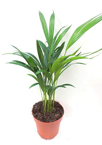 Areca the best Amazon price in SaveMoney.es on dwarf umbrella tree care, landscaping care, pets care, geraniums care, plant care, african violets care, flower care,