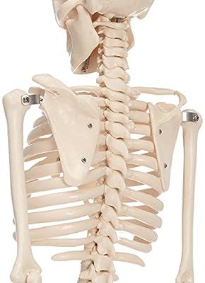 66FIT - Modelo anatómico de esqueleto (85 cm) por 66Fit