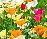 Farmerly 10,000 Seeds - Beautiful California Poppy Mixed Eschscholzia Californica