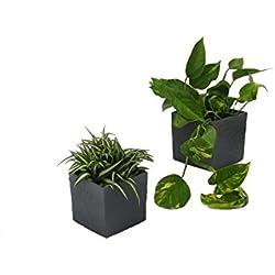 Dominik Blumen und Pflanzen, Rankpflanzen Duo mit Scheurich Würfeltopf anthrazit, Zimmerpflanzen, Ampelpflanzen