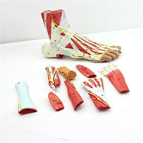 Anatomisches Modell Menschlicher Fuß Muskeln Anhaftende Nervengefäße Fußhöhe Anatomie Fußgelenk Muskel Nervenmodell Medizinische Lehrmittel 33 * 22 *   48CM
