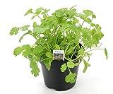 Koriander Coriandrum sativum, 1 Marktfrische Pflanze