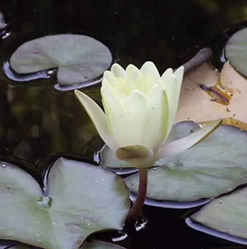 OBI wasserflora Weiße