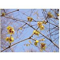2x invierno floración planta de jardín arbusto Seedling Chimonanthus Praecox chino Wintersweet Sweetly aromática invierno floración arbustos (5cm de altura, joven, fresca Seedling)