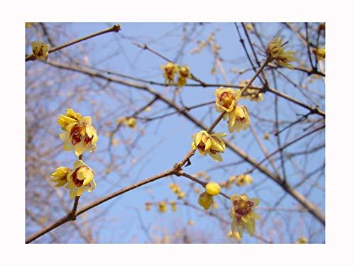 Galleria fotografica 2calicanti d'inverno cinesi, piantine da coltivazione, per la fioritura invernale, arbusti dalla fragranza dolce (alti 5 cm, freschi e giovani)