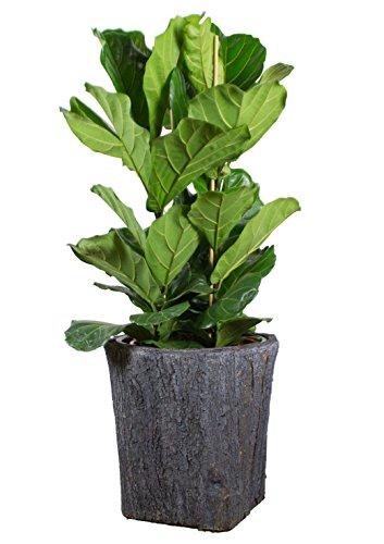 Geigenfeige - Höhe ca. 160 cm, Topf-Ø 34 cm - Ficus Lyrata