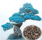 Vistaric 50 stücke Mini Blue Pine Bonsai Samen Chinesischen Billig Baum Kiefer Samen Widerstand Gegen Kalten Garten Bonsai Home Pflanzensamen Einfach Wachsen