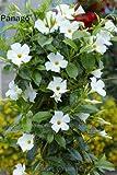 Pinkdose 100pcs Mandevilla sanderi Fiore Dipladenia sanderi Climbing fiore bonsai pianta perenne piante bonsai pottet giardino di casa: 3