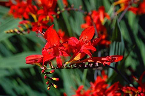 FERRY Bio-Saatgut Nicht nur Pflanzen: 10 RED Lucifer Crocosmia/ms