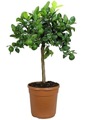 Satsuma-Mandarinenbaum Mezzo