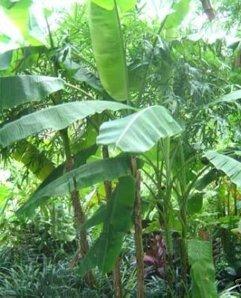Yunnan Banane – Musa itinerans sp. Yunnan – Samen