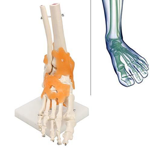 XUEBAI Unisex-Erwachsene Anatomisches Modell des Fußgelenkes Mit Bändern, Fuss - Skelett, Menschliches Fußgelenkmodell In Lebensgröße, Anatomisches Modell-Skelett