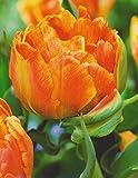 20 Päonienblütige Tulpen Orca (20 Blumenzwiebeln)