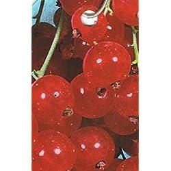 Rote Johannisbeere - Ribes rubrum - Red Lake - ältere ertragreiche Sorte