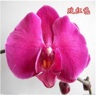 Vistaric 100 pz/pacco alberelli phalaenopsis semi orchidea bonsai fleur-de-lis fiore blu fiore blu phalaenopsis
