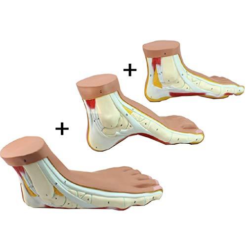 LUCKFY Lebensgroßes menschliches Fußmodell - normaler/gewölbter/Flacher Fuß Anatomisches Modell-Kit - Übungssystem Rehabilitationskorrektur Demonstrationslehrmittel -
