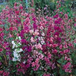 Galleria fotografica Fiore - Kings Seeds - Confezione Multicolore - Clarkia - Elegans Double DeChiaro