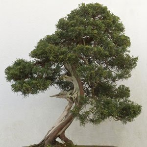 Juniperus chinensis - 10 graines