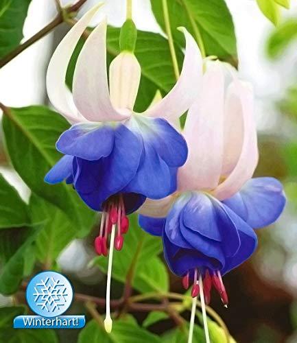 AIMADO Samenhaus-30 Stück Winterharte Fuchsie 'Blue Sarah' Blumensamen Rarität Gartenfuchsien Freilandfuchsien mehrjährig,Pflegeaufwand gering,Blumen Samen für Garten Balkon