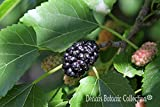 Pianta di Gelso Nero (varietà BLACK PERSIAN) - Morus Nigra