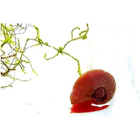 2Stk Aquarium Schnecke Süsswasser Schnecke rote Posthorn 2669 Schnecke 1-2cm
