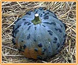 Bobby-Seeds Kürbissamen Musquee du Maroc Portion