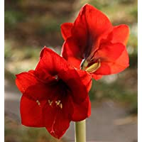 Bulbi da Fiore ALTA QUALITA' per fioritura PRIMAVERILE - ESTIVA - AUTUNNALE (1, Amaryllis - Hippeastrum ROSSO SCARLATTO)