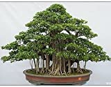 #8: SRUSHTI TRADERS Indian Strangler Fig Beautiful Banyan bonsai suitable Tree - (10 Seeds Bag)