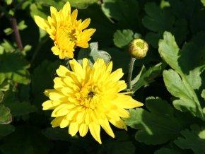 Winteraster 'Frühgold' - Chrysanthemum 'Frühgold' - Beetstaude von Staudengärtnerei - Du und dein Garten