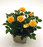 #7: Yellow Rose Flower Seeds Very Easy to Grow in any Season and Weather Conditions - BEE Garden Organic