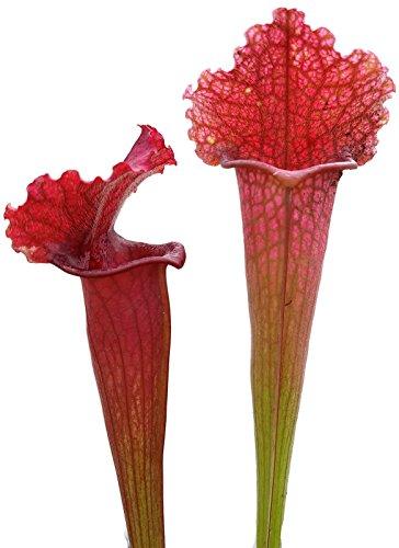 Sarracenia X Soper - blühfähige, große Schlauchpflanze - aufregende und besondere fleischfressende Pflanze