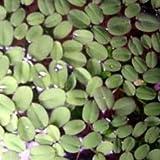 10 x Büschelfarn (Salvinia auriculata) gegen Algen
