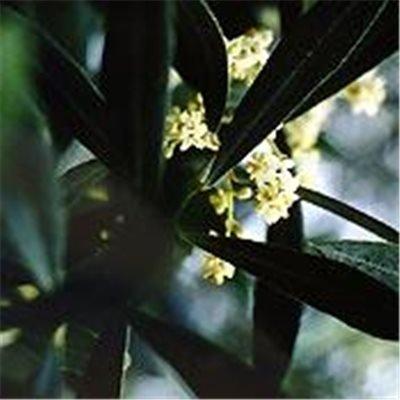 Bachblüten Original Olive 20 ml (20 ML)