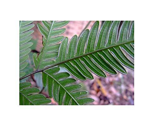 100x Pteris biaurita Samen Farn Saumfarn Pflanze Saatgut Garten B145