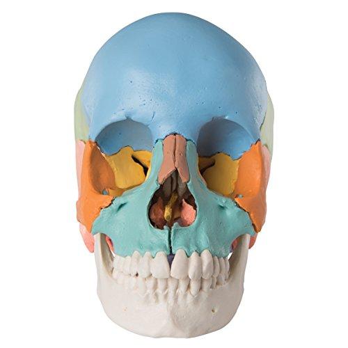 Zoom IMG-1 3b scientific a291 cranio scomponibile